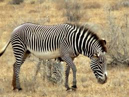 cebra africana