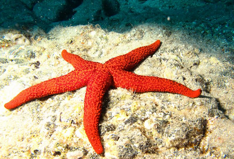 Estrella de mar muy roja