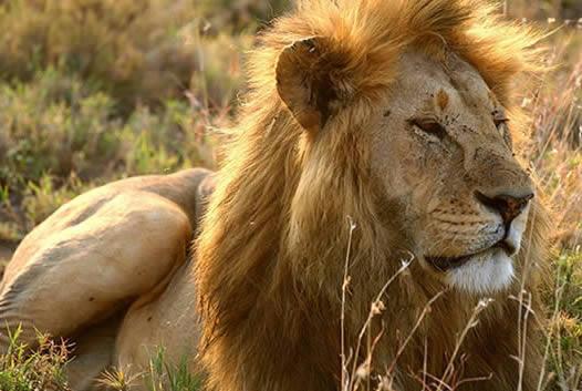 Fotos de leones1