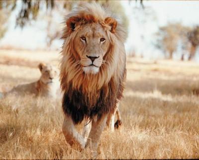 Fotos de leones2