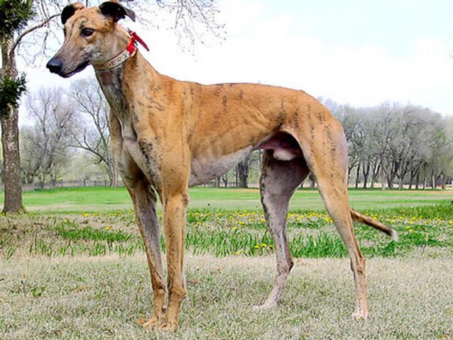 Foto de un perro raza galgo ingles