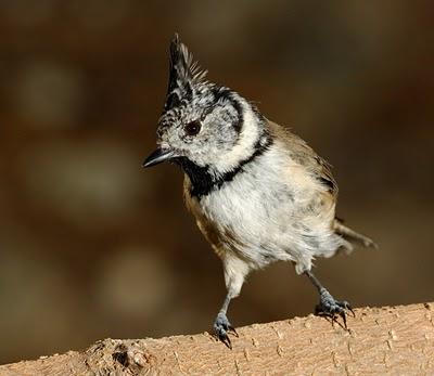 Foto de pájaro herrerillo capuchino