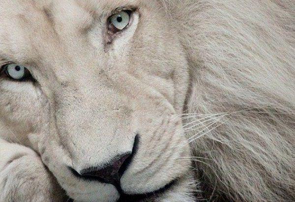 leon y tigre blanco - photo #29