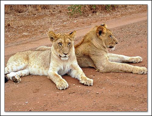 Los leones salvajes