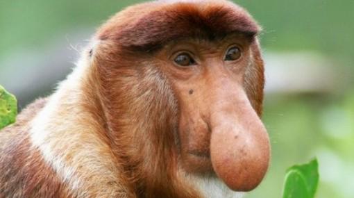 Mono narigudo o nasico