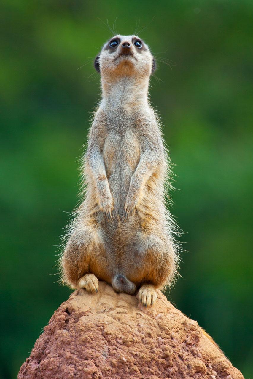 Foro de un suricata puesto en pie