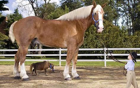 caballo-enano