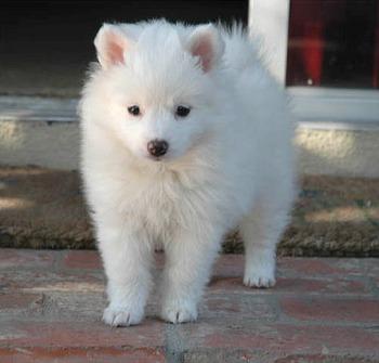 Pequeño cachorro de la raza american eskimo