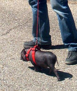 cerdo-como-mascota