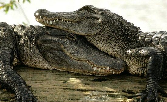 Clasificaci n de las especies los reptiles diario animales - Animales salvajes apareandose ...