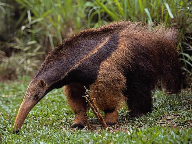 el-oso-hormiguero