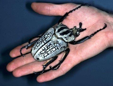 escarabajo-goliat