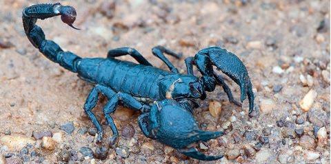 escorpion-azul-emperador