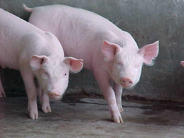 foto cerdo 1