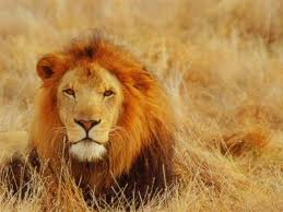 cabeza de leon tumbado