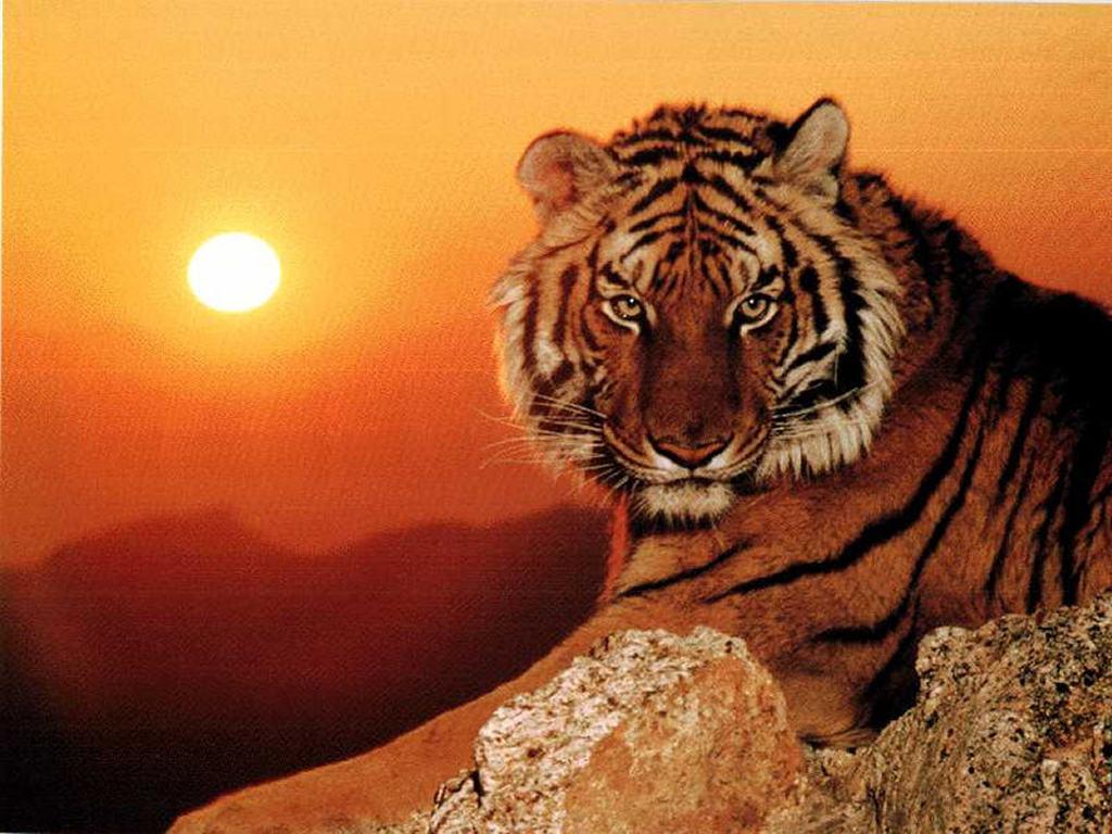 foto tigre1
