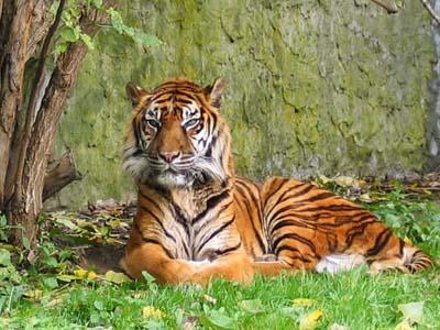 foto tigre2