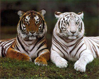 foto tigre3