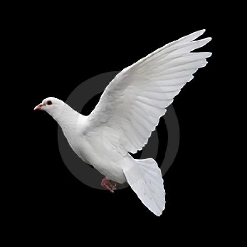 fotos-en-blanco-paloma