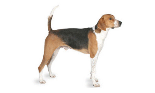 foxhound ingles