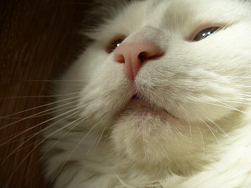 gato-blanco