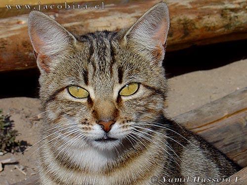 gato-domestico