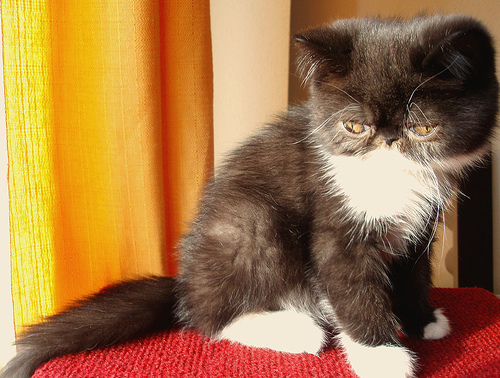 gato-exotico-cachorro