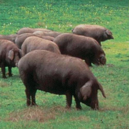 imagenes de cerdos2