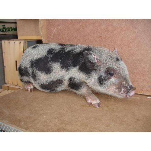 imagenes de cerdos3