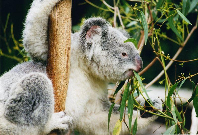 koalacomiendo