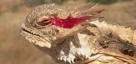 lagarto llora sangre