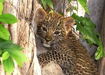 leopardo pequeño subido a un arbol