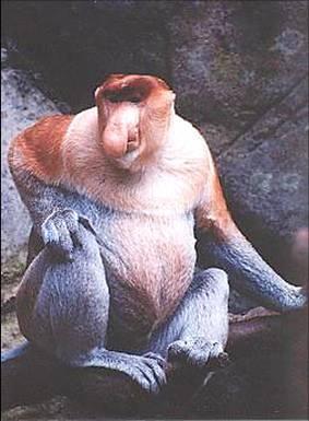 mono-nariz-larga