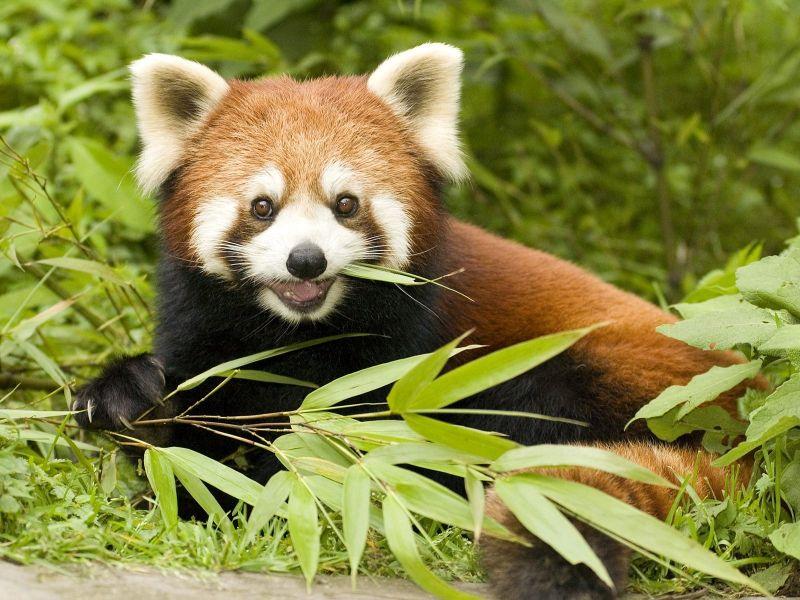 panda-rojo