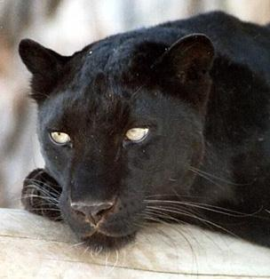 Pantera negra de cerca