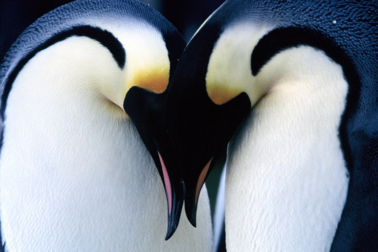 pareja-de-pinguinos-emperador