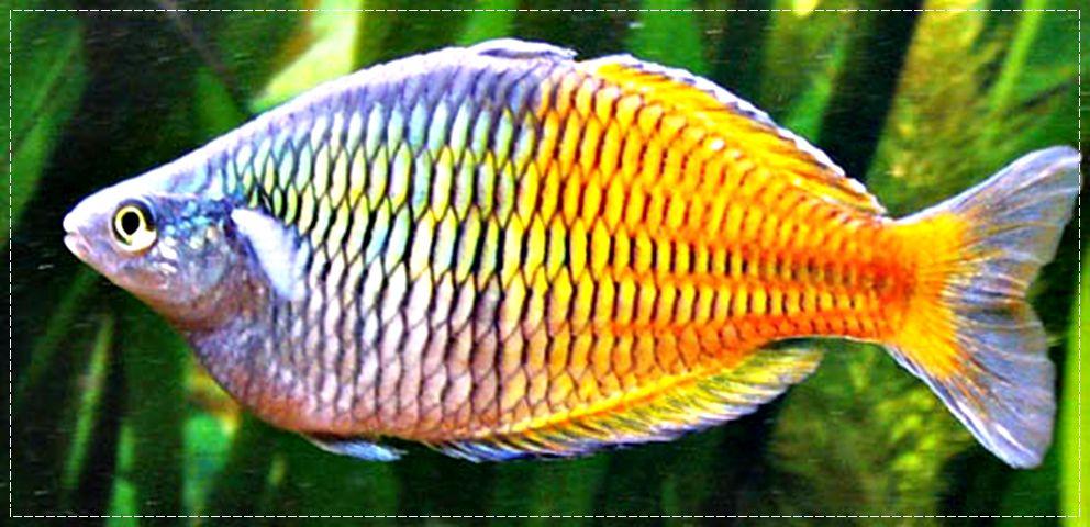 peces-arcoiris