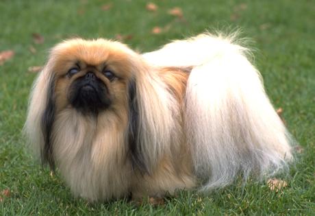 Foto de un perro pequines