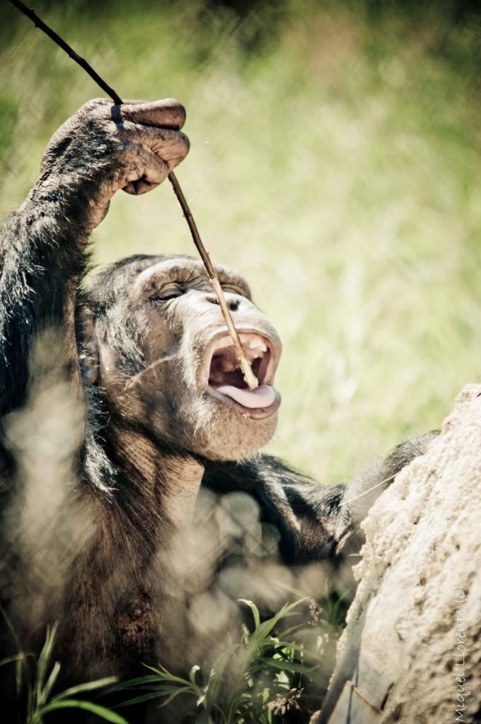 primatesherramientas
