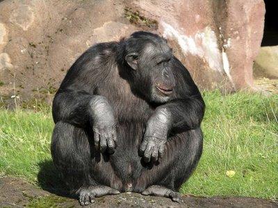 Frodo, el chimpance violento
