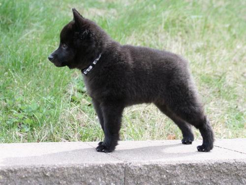 Foto de cachorro de Schipperkee