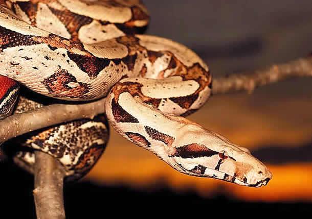 serpientes comiendo2