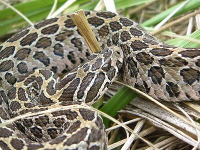 serpientes comiendo3