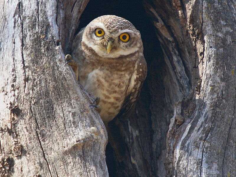 spotted_owlet1