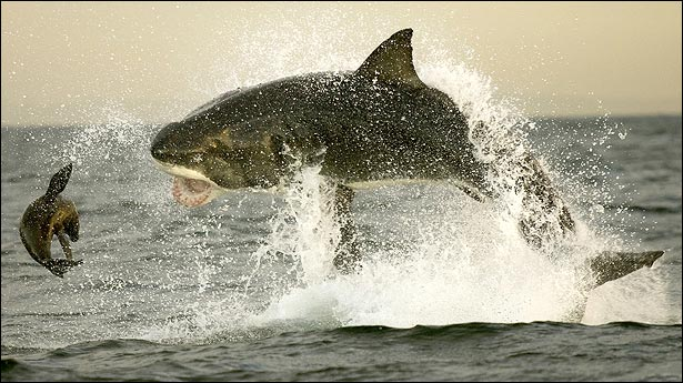 tiburones atacando1