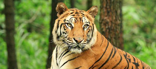 tigre java