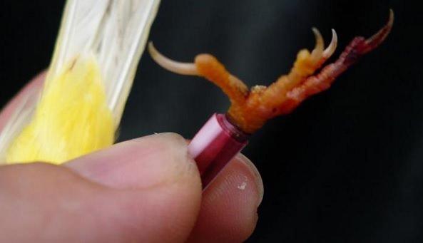 uñas periquito
