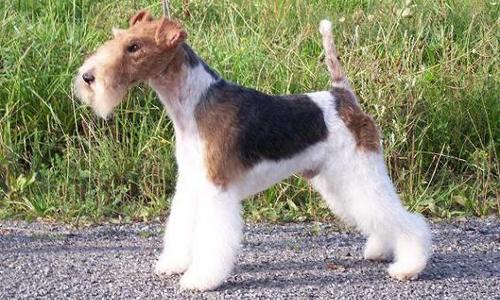 foto de un perro fox terrier de pelo duro