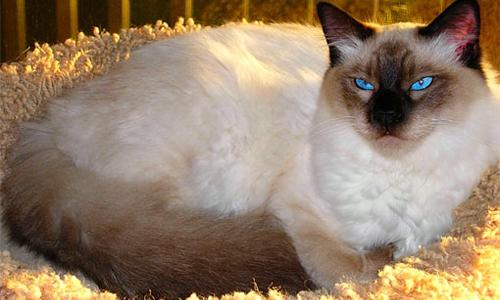 Foto de un gato balines tumbado