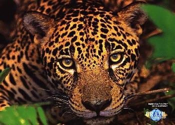 Foto de la cabeza de un jaguar